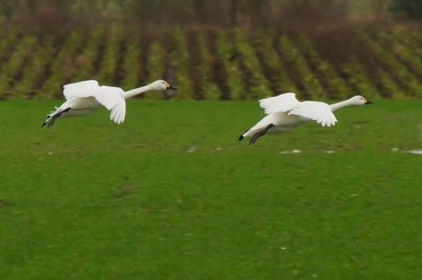 vliegende kleine zwanen
