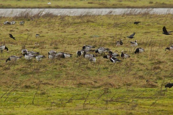 Roodhalsganzen in zeeland (fotograaf: Sjaak Huijer)