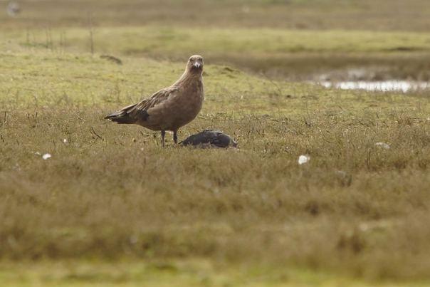 Grote Jager bij Zierikzee (Fotograaf Sjaak Huijer)