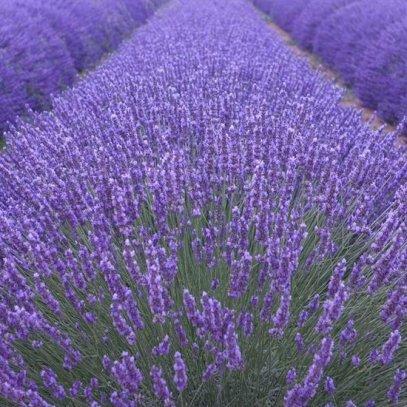 lavendel voordelen