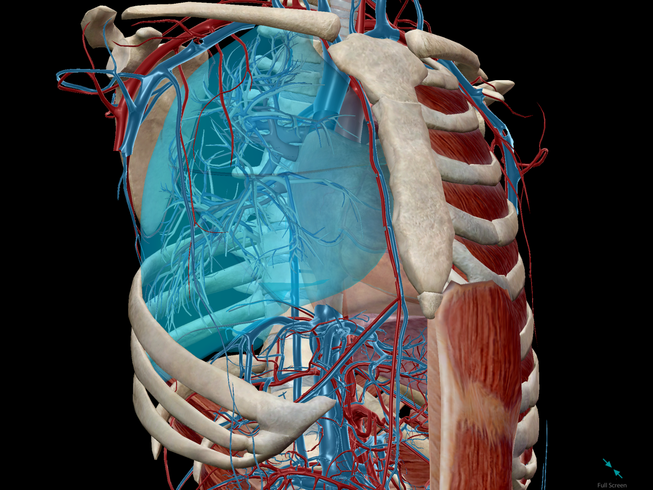Anatomy And Physiology The Relationships Of The