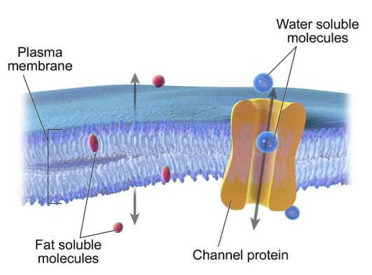 Image result for fat soluble membrane