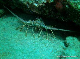 Nurse Shark Reef Lobster