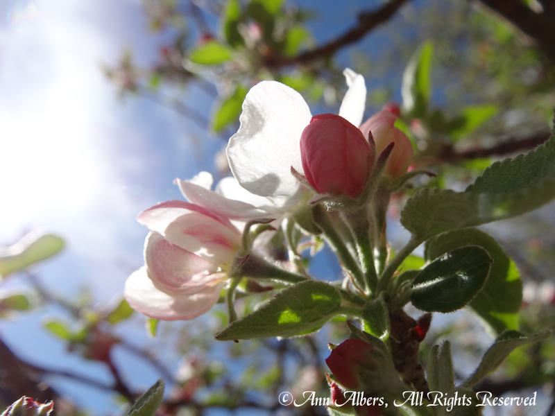 appleblossomandlight
