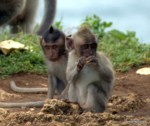 Baby Monkeys at Ulu Watu! | Macaques in Bali, Indonesia| Photo by Todd L. Cohen, 50and50by50.com