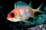 squirrelfish during Liberty wreck diving - USS Liberty dive site