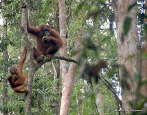 Orangutans are the largest tree dwelling mammal in the world. Loved seeing orangutans in Borneo!
