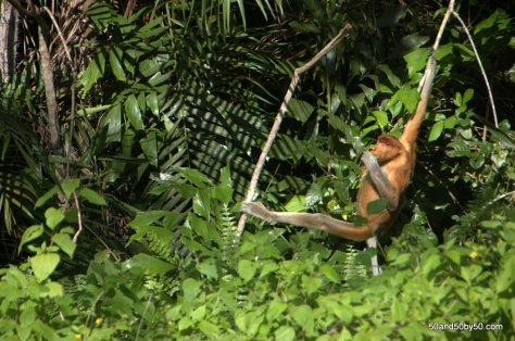 this primate is swinging on a branch
