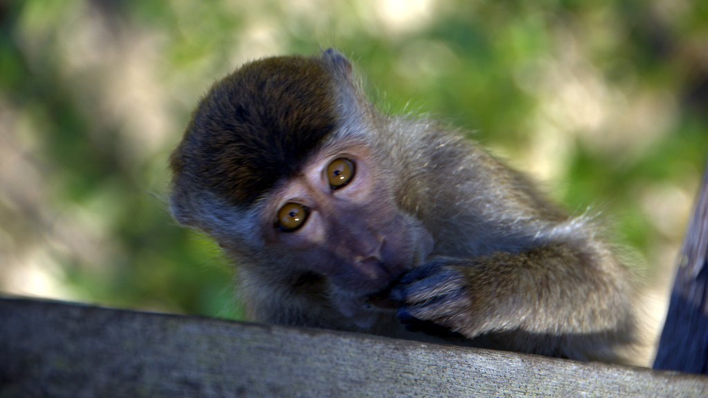 macaque monkey portrait in Borneo Bako