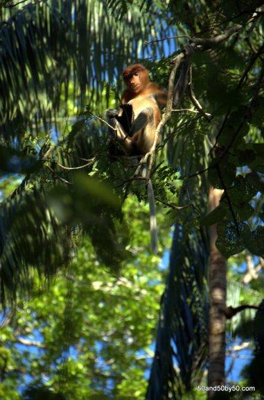 female proboscis monkey high in the tree