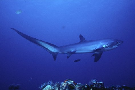 Thresher Shark swimming by