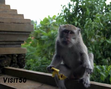 Macaque monkey eating lunch in Bali
