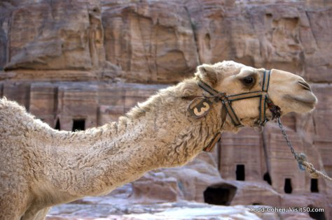 camel at the ruins in Jordan
