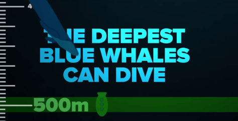 Blue Whales can dive down to 500 meters deep.