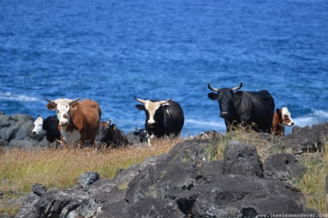 animals cows in Chili by the blue water