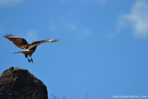 bird landing on a rock in Chile