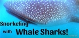 Swimming with Whale Sharks Visit 50
