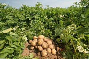Image result for potato field