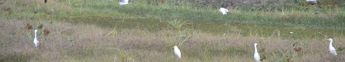 Egrets on the moat