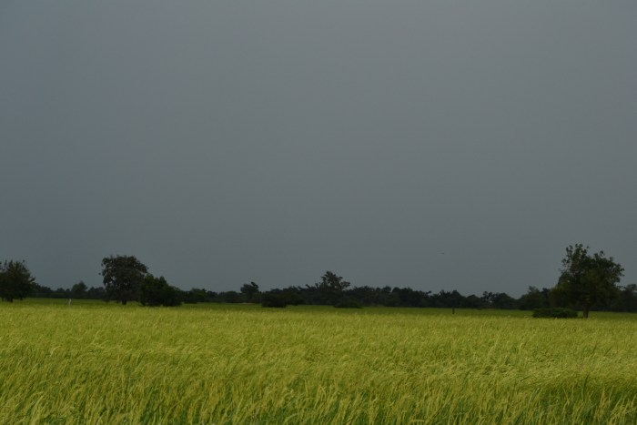 Dark day over the rice fields