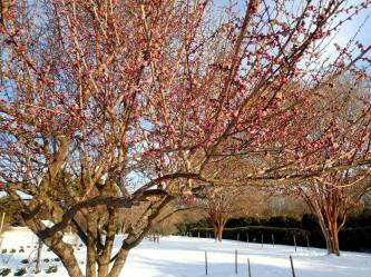 Japanese Apricots blooming in february snow 2015