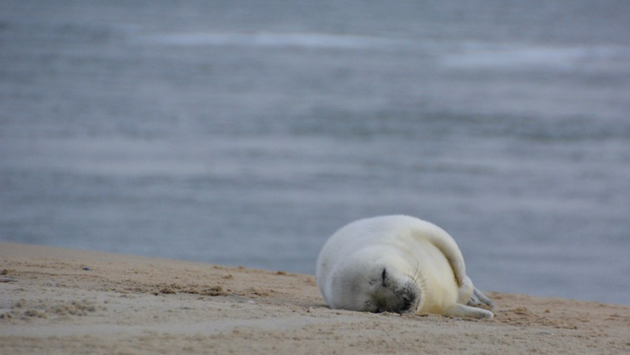A seal near the island of Vlieland, The Netherlands, laying on a sandbank or beach