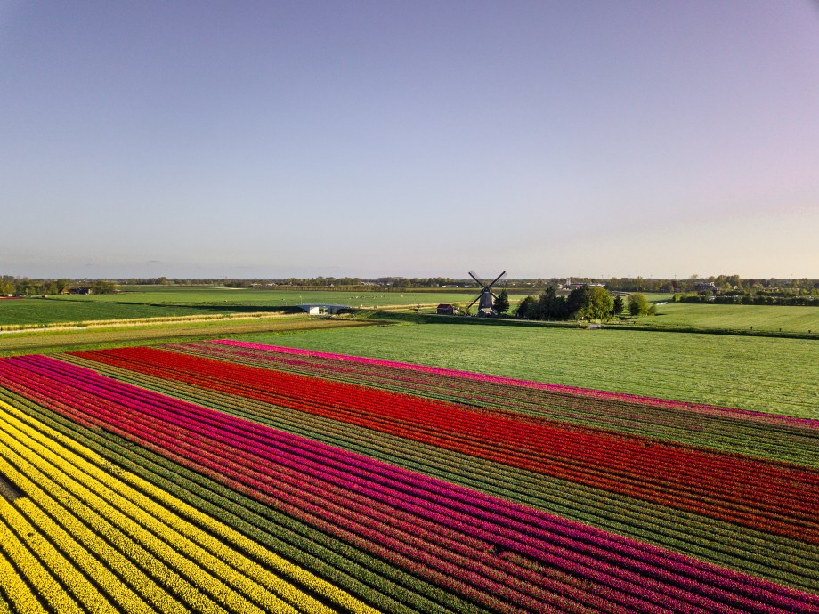 Find all the best tulip fields in The Netherlands. From tulip fields in the top of North Holland, to tulip fields in the province of Zeeland. And from a tulip route in South - Holland, to discovering tulip fields in Flevoland and Drenthe. Discover the best places to visit tulip fields in The Netherlands, Holland and Amsterdam with this article to finding free tulip fields.