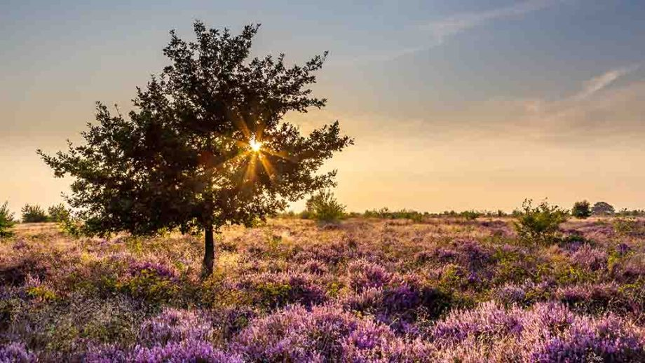 De Hoge Veluwe National Park near Arnhem, The Netherlands, during heather season