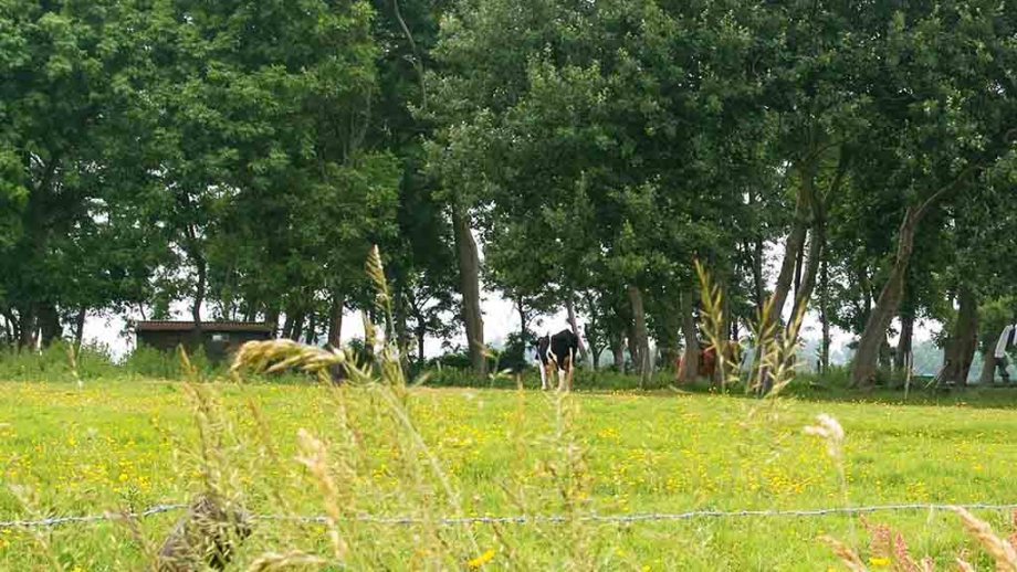 Cows and sheep on Wieringen island in Noord- Holland, The Netherlands