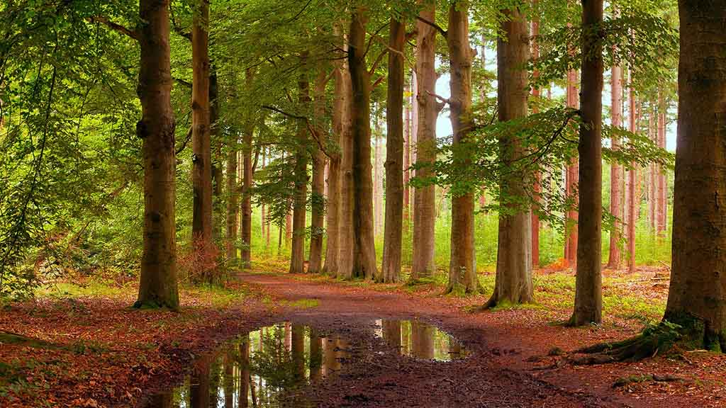 View on a Dutch forest, with green blooming trees and brown leaves on the forest floor