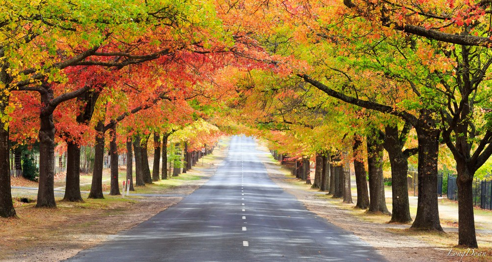 Honour Avenue, with its 154 Pin Oaks that line the road in Autumn hues.