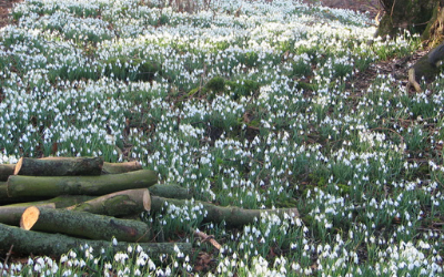 Snowdrops Chirk Castle
