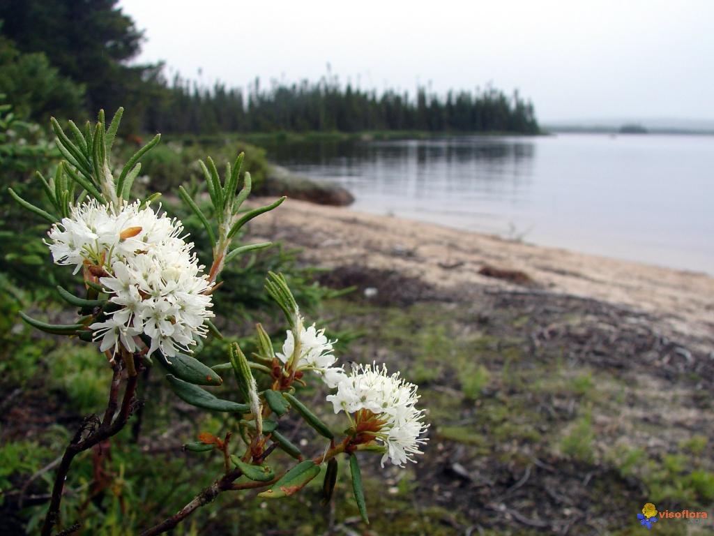 Image result for groenlandicum