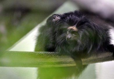 Filhote de mico-leão-preto nasce em zoológico de Pomerode