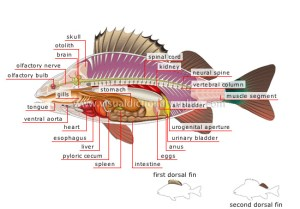 ANIMAL KINGDOM :: FISHES :: BONY FISH :: ANATOMY OF A
