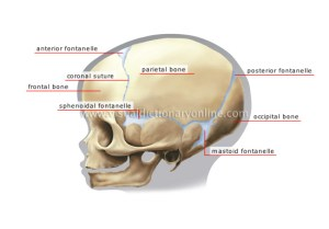 HUMAN BEING :: ANATOMY :: SKELETON :: CHILD'S SKULL image  Visual Dictionary Online