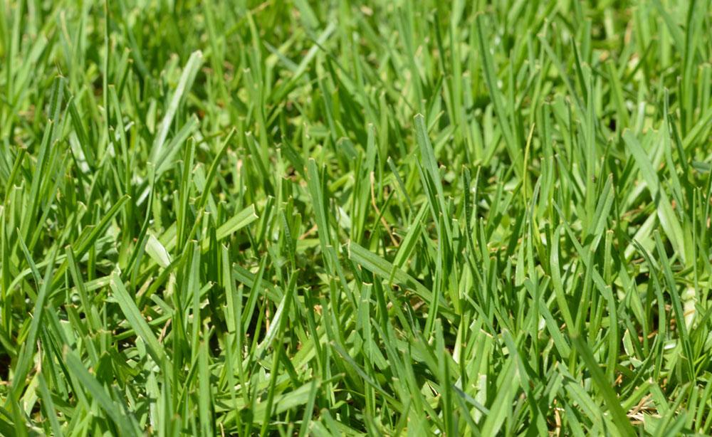 Eureka Kikuyu | Instant Lawn