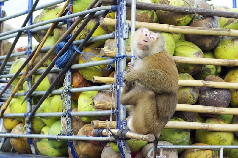 coconut - monkey-on-car-truck-with-coconut_SwZxmyb_hGg.jpg