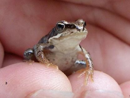 baby frog, Norway