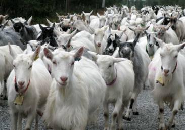 free-range goats, Norway