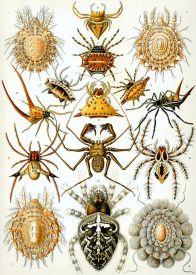 Arachnid (Arachnida)