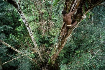 "Sowayen climbing down a ""yambim"" or ironwood tree after knocking loose a nest of black ants"