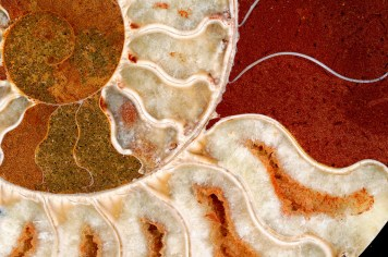 Ammonite in colors. Flickr Commons. User: Captain Tenneal. http://tinyurl.com/jhthgf4