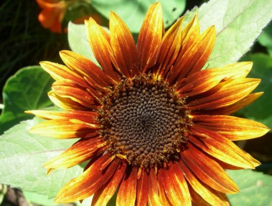Biotech: will sunflowers become data storage?
