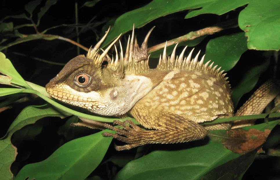 The Phuket horned tree agamid (Acanthosaura phuketensis), Photograph: Montri Sumontha/WWF