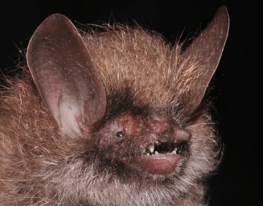 Murina kontumensis, Photo: Truong Son Nguyen/WWF