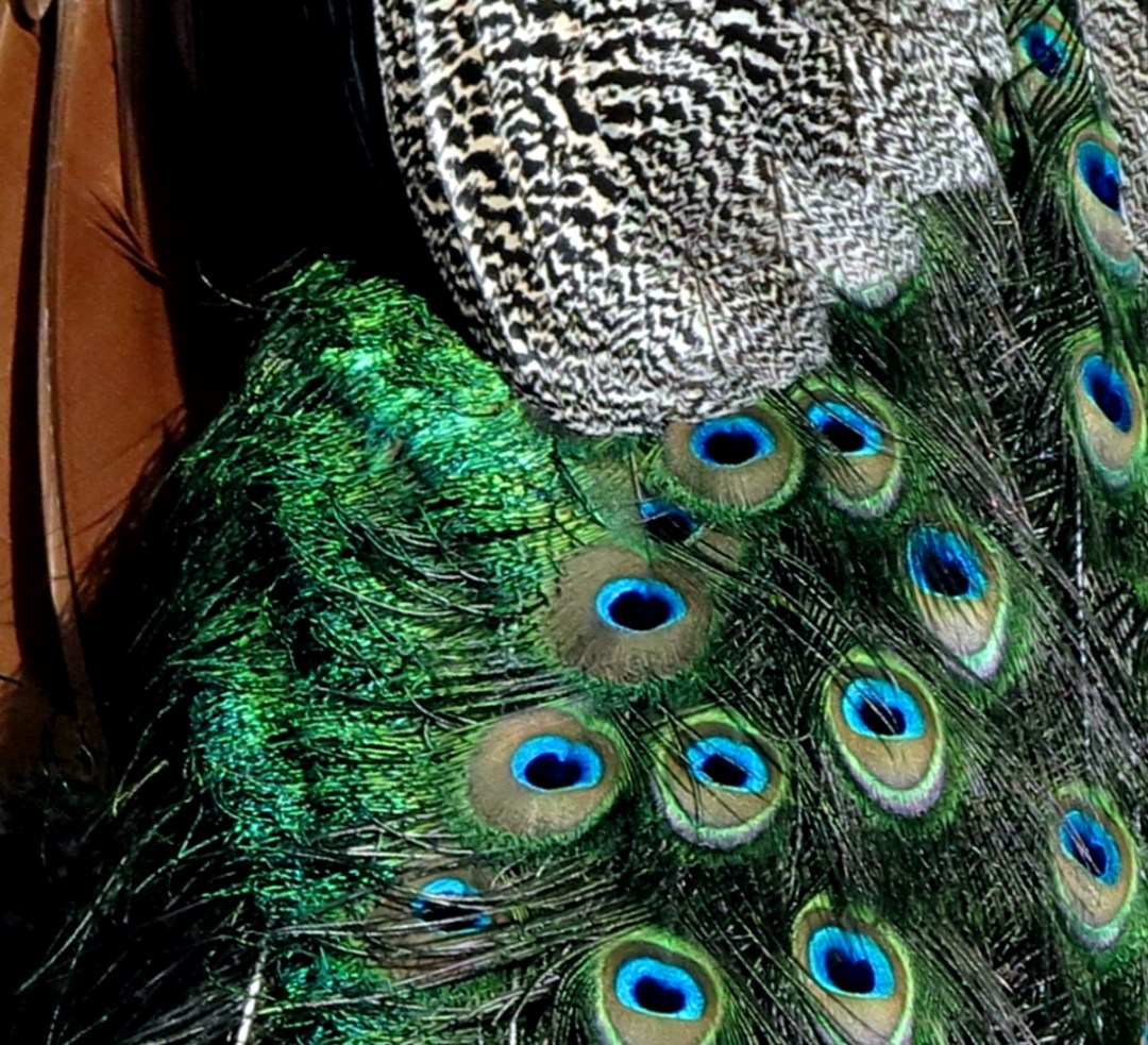 peacock, photo by @benteh