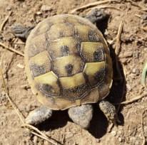 tartaruga Hermanni Botgeri appena nata