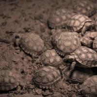 Tartarughe di terra appena nate