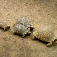 Riproduzione tartarughe di terra